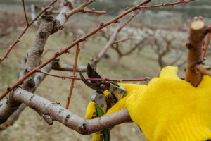 fruit tree pruning tree services